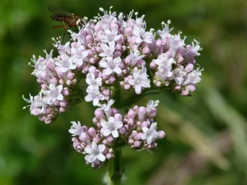 Common Valerian: let us sleep on it | The Nature of Dorset