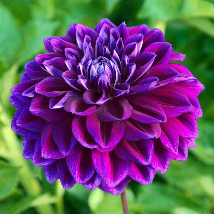 """BOOGIE NITES Dahlia - Item #161 5"""" blooms are a true, deep purple, and a real eye catcher."""