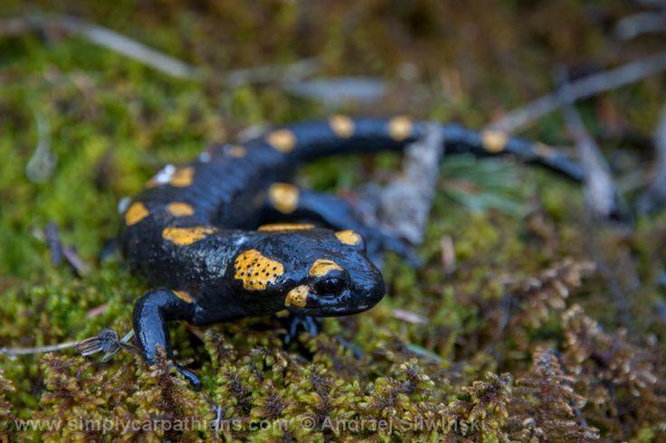 Salamander - the sign of spring.  www.simplycarpathians.com