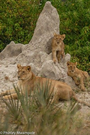 Young lions at Chitabe in Botswana's Okavango Delta