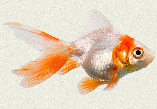 how to keep goldfish water clean