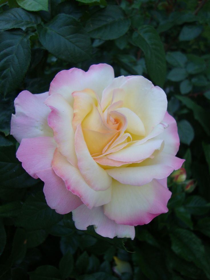 Peace rose introduced in the 1940's (This photo is close to Peace as I know it. The flower is creamy white, with a yellow center and blush pink edges on the outer petals. I try to buy bushes in bloom, so I can see whether it's' blooms match this description. SG)