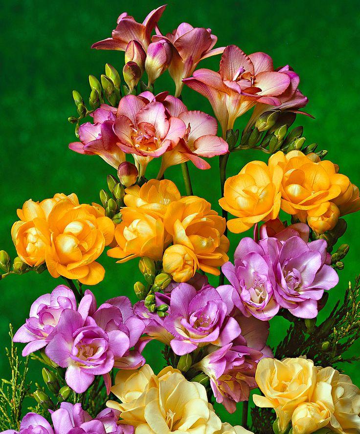 Gefüllt blühende Freesien gemischt | Blumenzwiebeln | Bakker