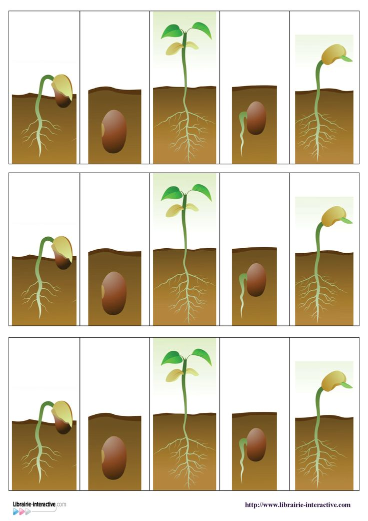 Deux documents pour décrire et ordonner les différentes étapes de la germination d'une graine de haricot.
