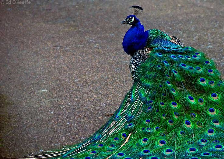 Beyond love for the colors of the peacock.  The Remembering and The Becoming