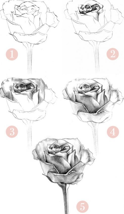 How to Draw a Rose | How to draw a rose pictures 1