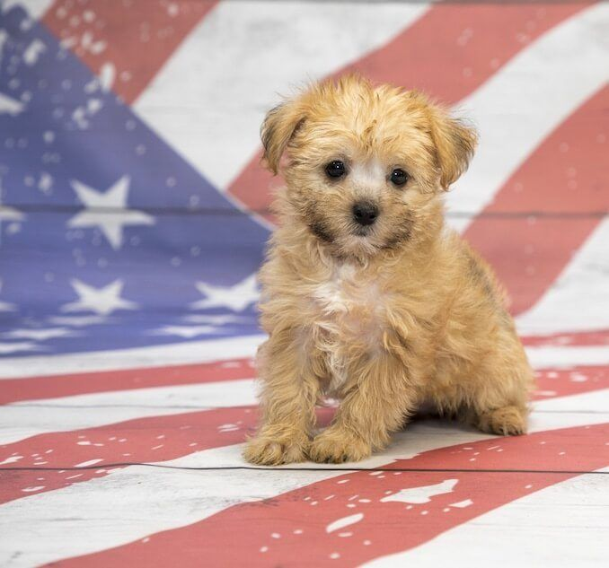 Shorkie A Complete Guide To The Shih Tzu Yorkie Mix All Things Dogs In 2020 Shorkie Dogs Shorkie Puppies Yorkie Mix