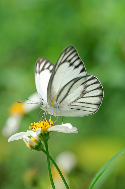 17 Best Ideas About White Butterfly On Pinterest