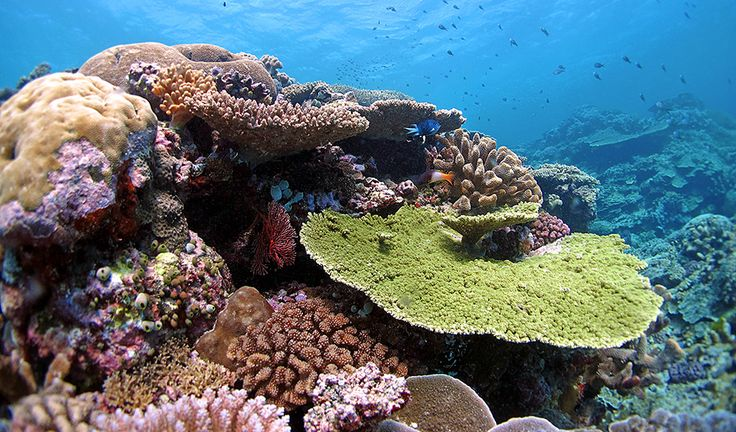 A new study shows that some corals have the genes to adapt to warmer oceans. IMAGE CREDIT: Line K Bay, AIMS. Evolving corals may beat the heat on the great barrier reef - Australian Geographic