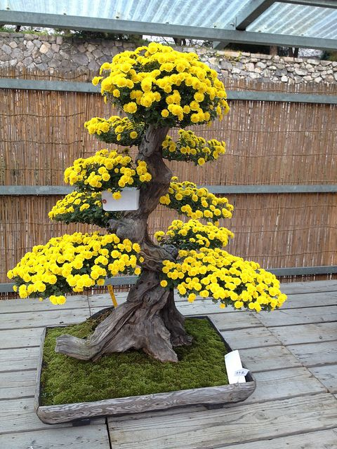 Flower show in Nagoya castle. Large yellow flowering Bonsai. Moss bed with flat square tray.