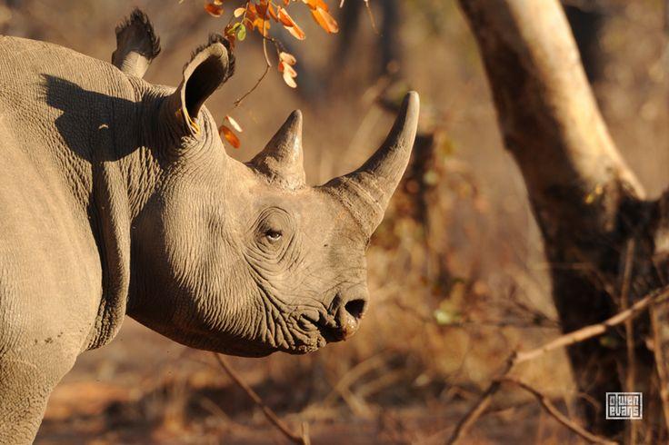 Black rhino (Diceros bicornis bicornis)