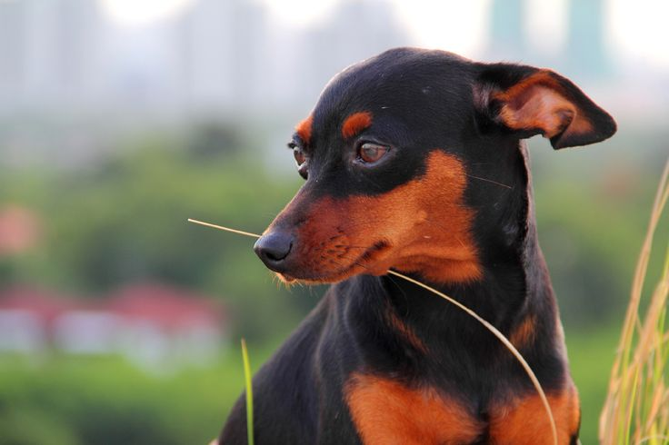 Miniature pinsher she is my lovely dog