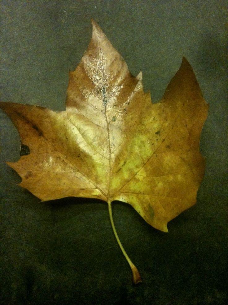 Herfsttip: bladeren herkennen   Esdoorn