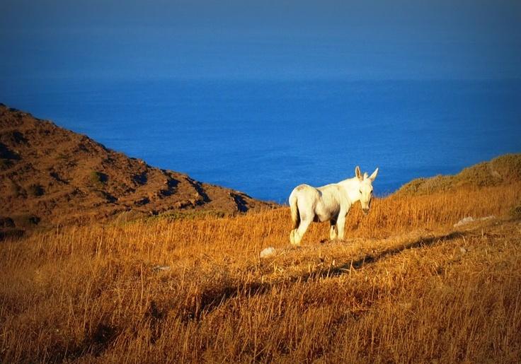 White Donkey - Karpathos Island