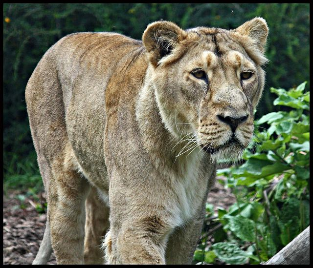 A lioness at Chessington Zoo | Flickr - Photo Sharing!