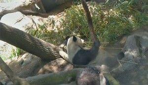 Panda Live-Cam im San Diego Zoo Kalifornien - Die Störche von Hohenstein