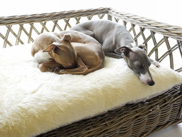 36 best italian greyhounds | for rory images on pinterest