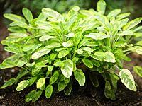 Šalvěj jako okrasná bylinka, lék i koření