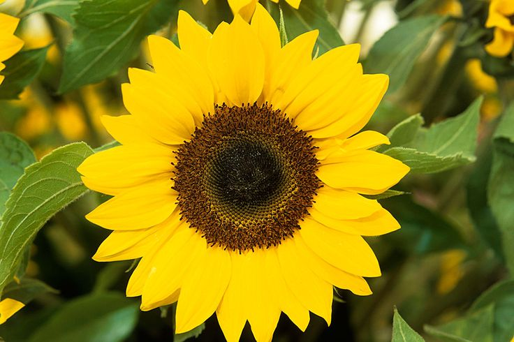 Sunflower Pictures Find best latest Sunflower Pictures for your PC desktop background & mobile phones.
