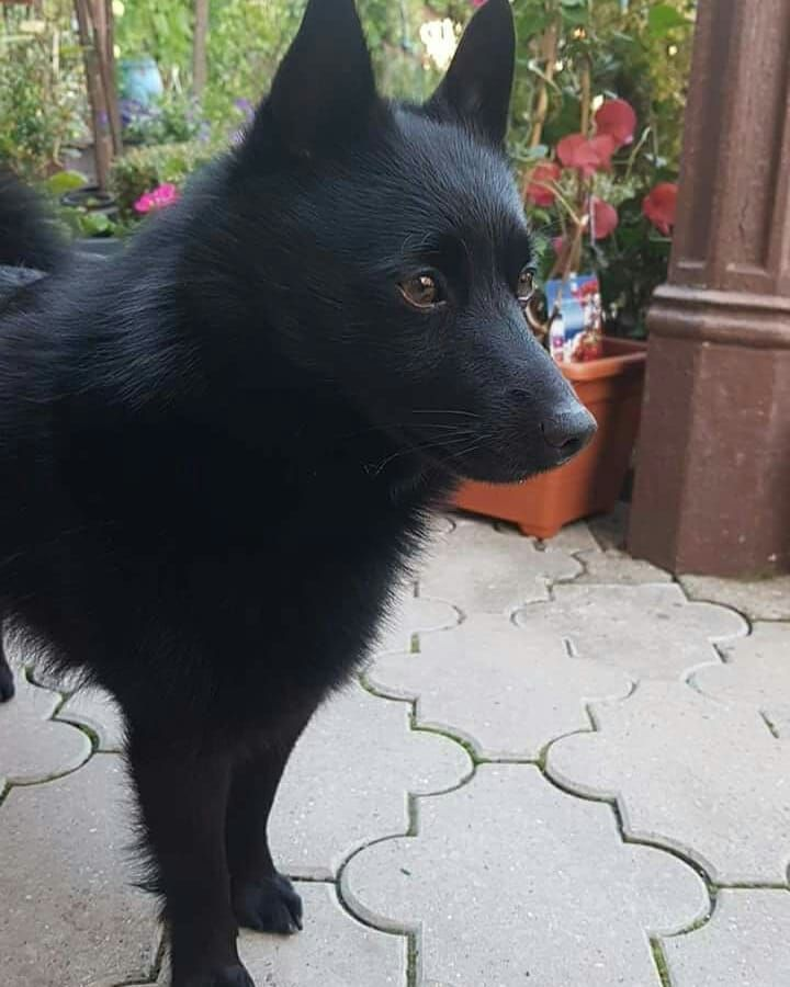 Tomorrow Im Home With A Caspi Schipperke Dog Japanese Dogs Dog Gifts