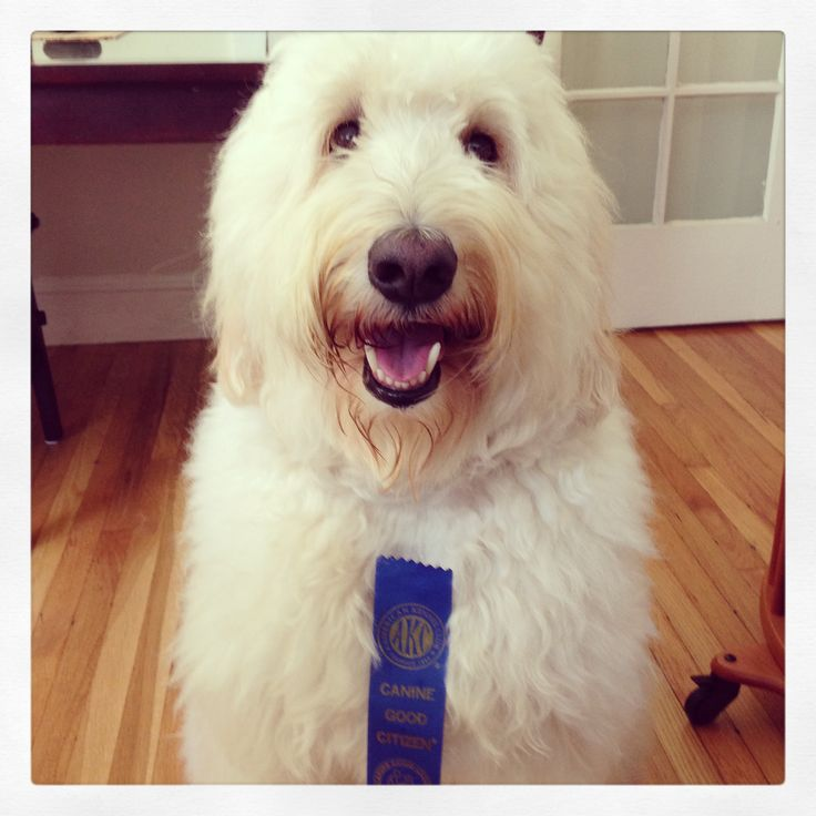 Haircuts For Goldendoodles Pictures: 35 Best Images About Goldendoodle Haircuts On Pinterest