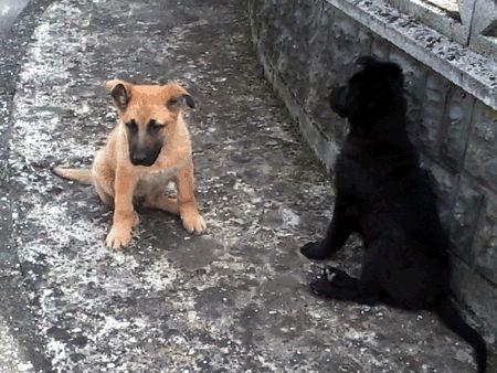 CADEO (PIACENZA): SMARRITI DUE CUCCIOLI, ROCK E PUCK. RICOMPENSA http://terzobinario.blogspot.it/2014/03/cadeo-piacenza-smarriti-due-cuccioli.html