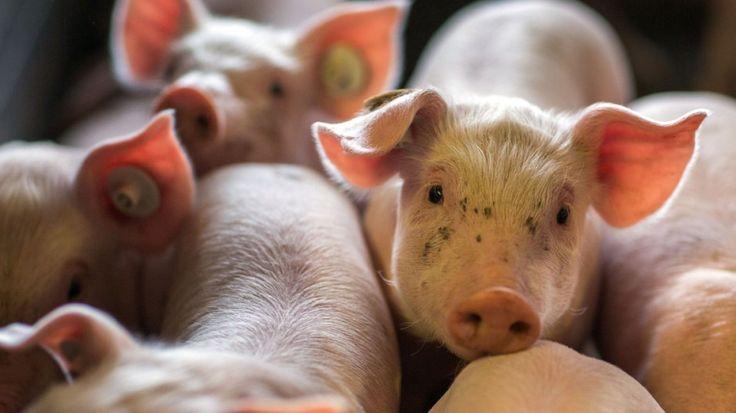 Die Initiative Tierwohl zertifiziert Produkte etwa von Aldi, Rewe und Edeka. Wie dreist damit vermeintlicher Tierschutz verkauft wird, zeigen interne Papiere.