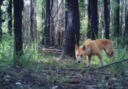 This is a dingo in the Australian bush. A new study shows the poisoning of dingoes has a deleterious effect on small native mammals such as marsupial mice, bandicoots and native rodents. Credit: Charlotte Mills