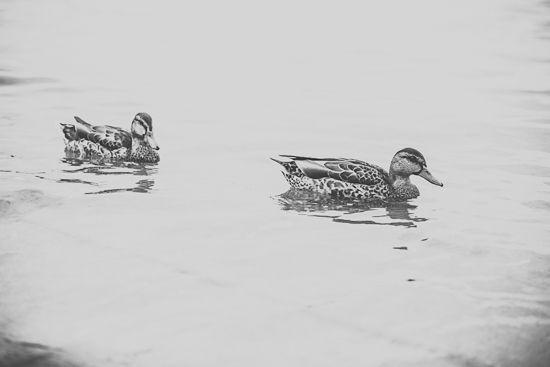 ducks by MalgoS