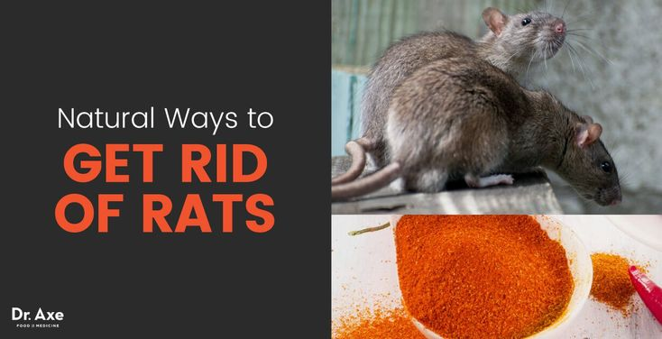 Do you have a rat infestation and for how to get rid of rats? Don't reach for the rat poison that can harm you as well. Go the natural route.