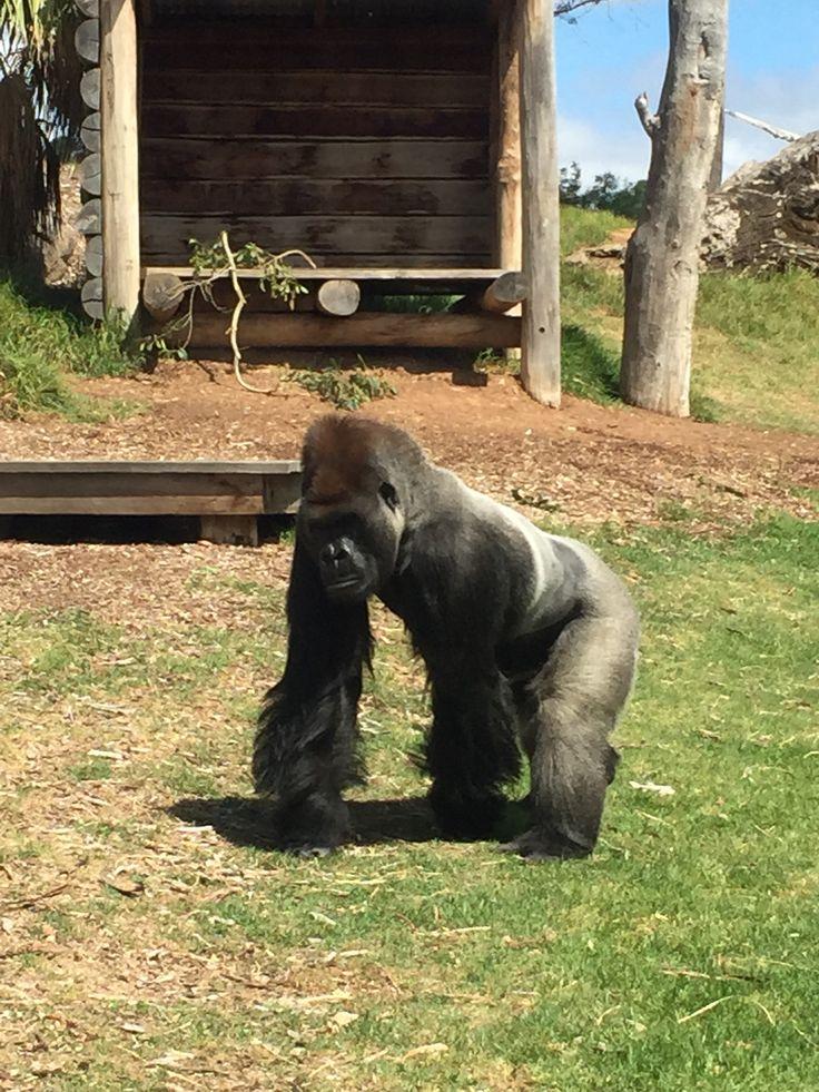 Gorilla in Werribee Zoo, Melbourne
