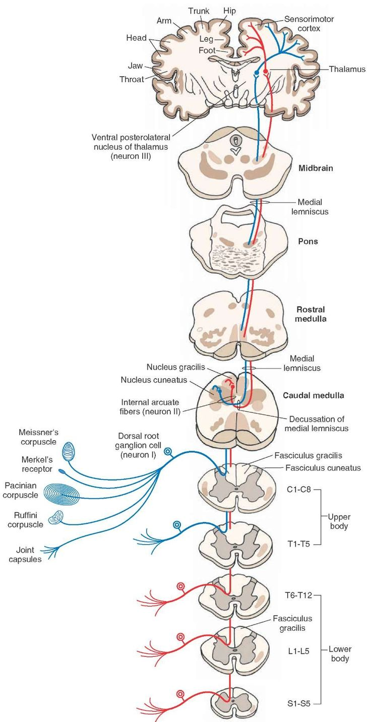 Diagram showing the course of fibers in the dorsal column. The fasciculus gracilis exists at all levels of the spinal cord and contains long ascending fibers from the lower limbs (shown in red). The fasciculus cuneatus exists in thoracic (T) segments above T6 (T1-T6) and cervical (C) segments (C1-C8) and contains long ascending fibers from the upper limbs (shown in blue). The axons of second-order neurons (neuron II) in the nucleus gracilis and cuneatus travel as internal arcuate fibers and…
