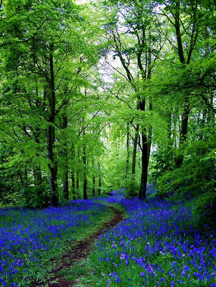 Bluebell Path - Fife, Scotland