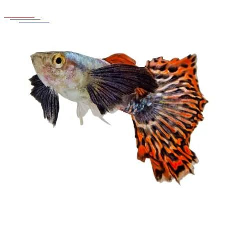 Male Elephant Ear Guppys For Sale Order Online Petco Elephantearsandtropicals Guppies Are A Classic Aquarium Fish They Have Been Bred For A Variety Of Em 2020
