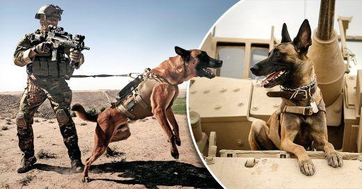 Los perros militares tendrán un destino justo; aprueban ley para que no queden en el olvido - https://infouno.cl/los-perros-militares-tendran-un-destino-justo-aprueban-ley-para-que-no-queden-en-el-olvido/