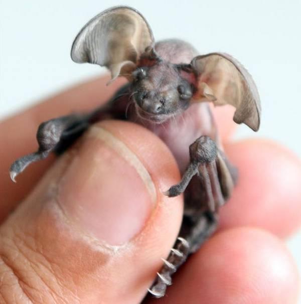 baby bat: Babies, Animals, Critter, Creature, Baby Long Eared, Babybat, Baby Bats