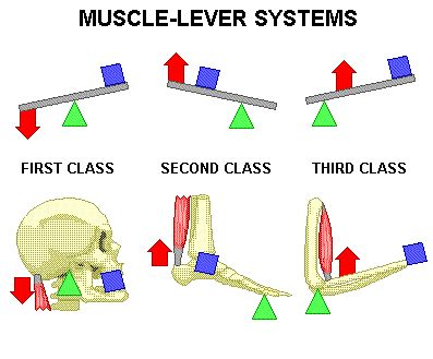1. muscles work by contracting (pulling) ... never by pushing        2. the insertion  movable bone        3. the origin fixed or immovable point of attachment             a. prime mover (agonist) - the muscle that provides the major effort in movement             b. antagonist - muscle that opposes the motion of the prime mover             c. synergists - muscles that help other muscles            d. fixators - muscles that immobilize a bone