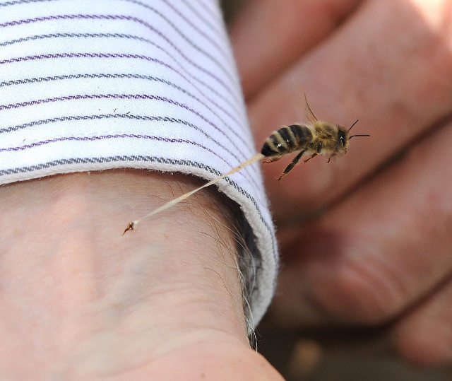A honeybee stings a person. You can see the stinger and some abdominal tissue in the process of ripping away from the bee.