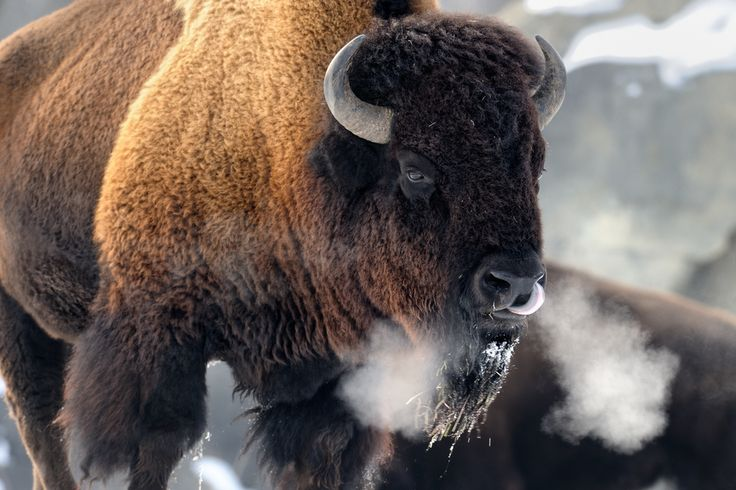 the dangers of extinction of the north american bison The american bison was a very useful animal for the amerindian tribes who thrived on its skin, fur, meat, and even bones this noble beast who roams the wilderness of the north american continent is the national wealth of north america.