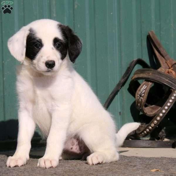 Lilac, Standard Poodle Mix Puppy