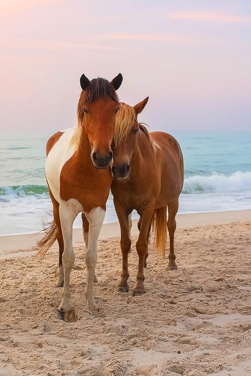 """Lisa Kramer said, """"Doing a series on these wild horses,"""" http://fineartamerica.com/profiles/lisa-kramer.html. On Assateague island, large populations of beautiful, wild horses roam free. Maryland There are so many tributes to man-made things in Maryland; perhaps that very fact is what makes the Chincoteague ponies on Assateague Island the thing we love most in the state."""