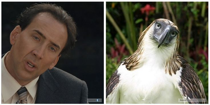 There Is An Eagle That Looks Exactly Like Nicolas Cage