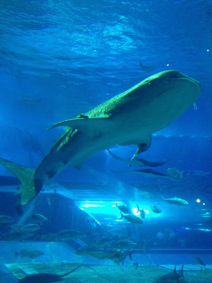 沖縄美ら海水族館 (Okinawa Churaumi Aquarium) in 国頭郡, 沖縄県