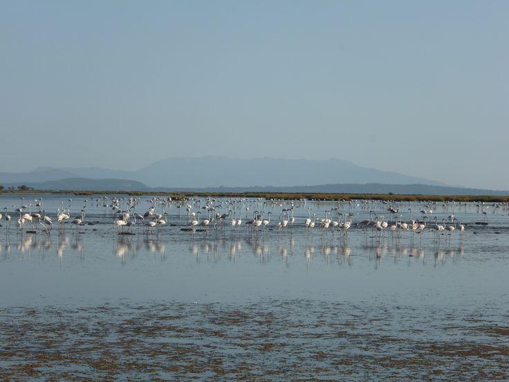 Φοινικόπτερα (φλαμίνγκο) στις όχθες της λιμνοθάλασσας της Ροδιάς στο Εθνικό Πάρκο Υγροτόπων Αμβρακικού (Άρτα).