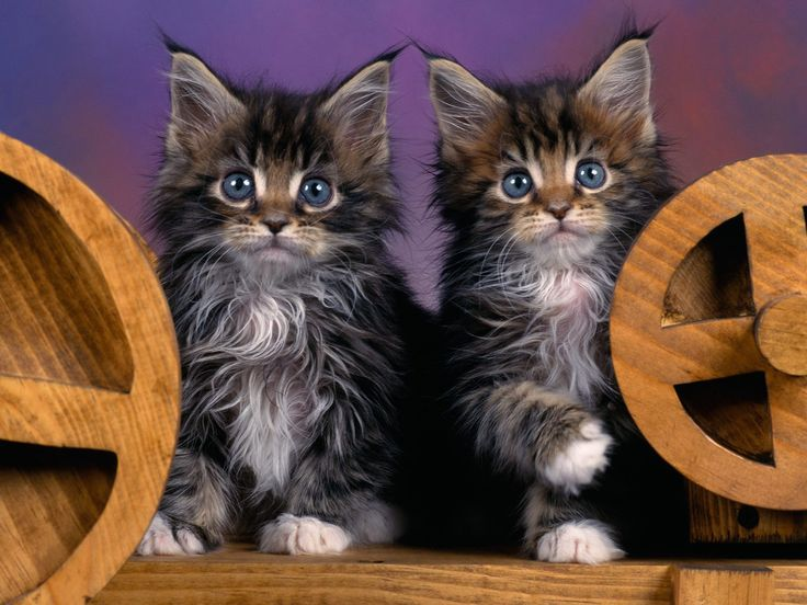 maine coon cat | Maine Coon Kittens - Cats Photography Desktop Wallpapers ( 47102 Views ...