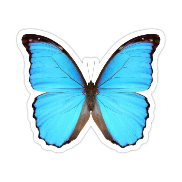 Blue Morpho Butterfly Sticker Blue Morpho Butterfly Blue Morpho Morpho Butterfly