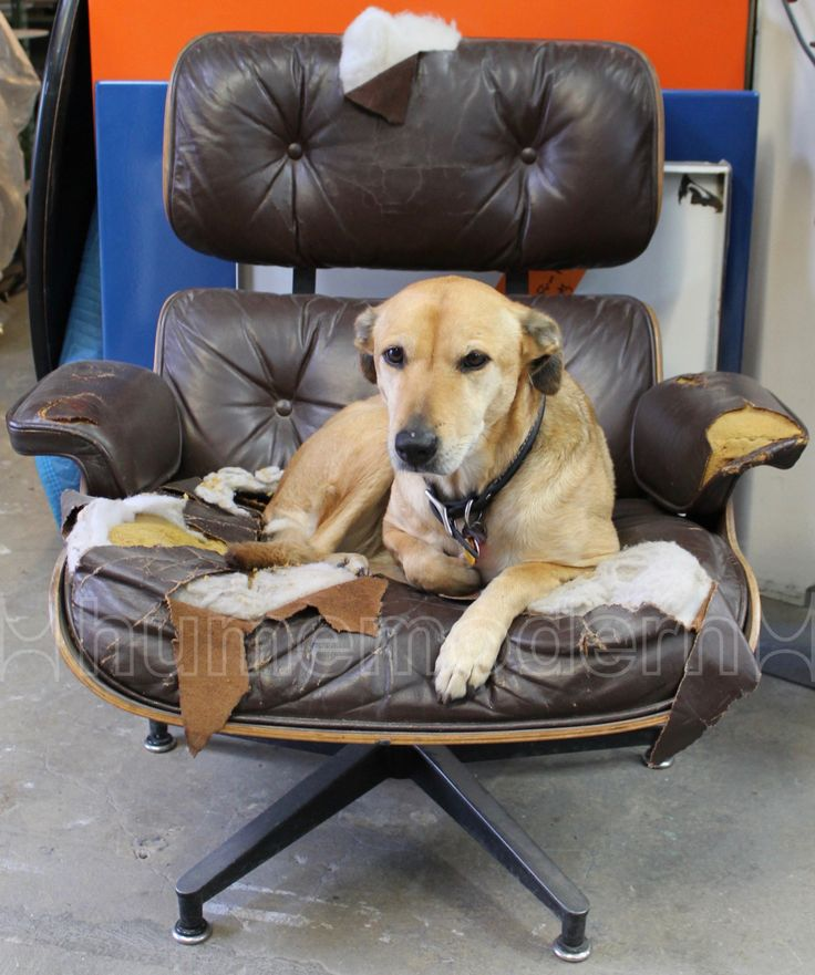 17 Best images about Dogs and Eames Chairs on Pinterest