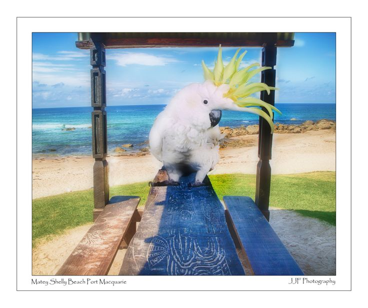 Matey The Sulphur Crested   Cockatoo at Shelly Beach Port Macquarie  www.jjfphotography.com.au