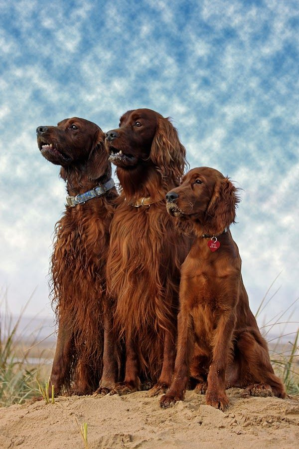 The Beach Boy's by Ken Jarvis - Animals - Dogs Portraits ( irish setter )