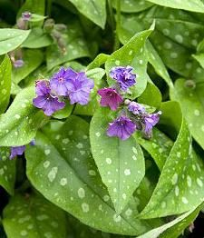 Cotswold Lungwort 50g (Pulmonaria)